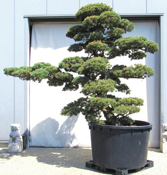 wwwjapangartende der gartenbonsai shop produkte With garten planen mit bonsai shop de