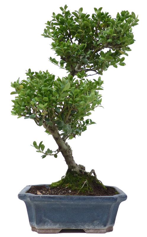 der gartenbonsai shop produkte bonsai laubb ume l007. Black Bedroom Furniture Sets. Home Design Ideas