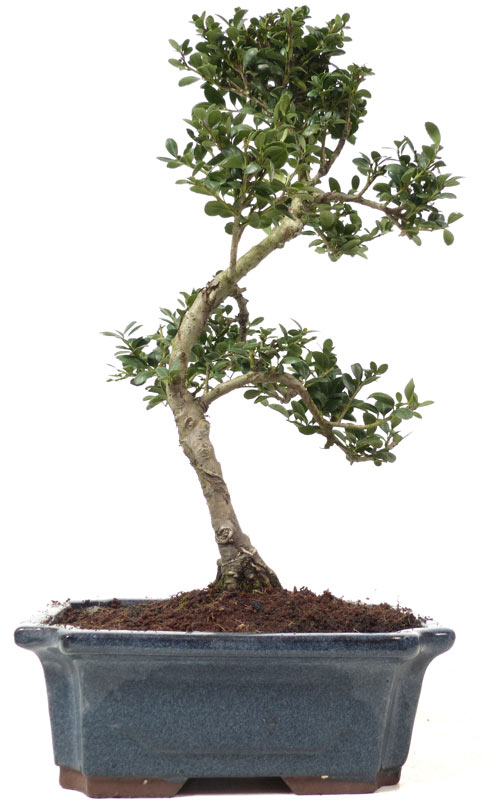 der gartenbonsai shop produkte bonsai laubb ume l007. Black Bedroom Furniture Sets. Home Design Ideas