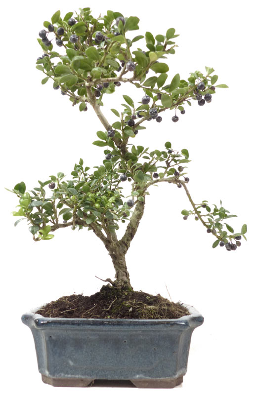 der gartenbonsai shop produkte bonsai laubb ume l010. Black Bedroom Furniture Sets. Home Design Ideas