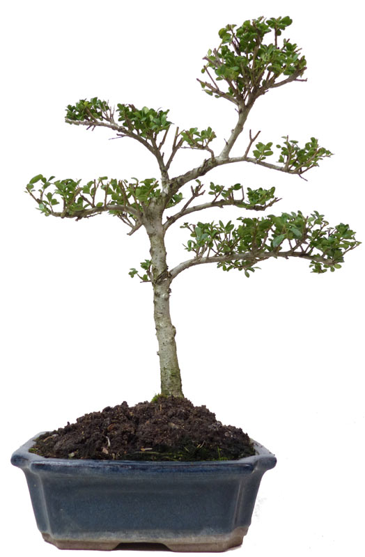 der gartenbonsai shop produkte bonsai laubb ume l011. Black Bedroom Furniture Sets. Home Design Ideas