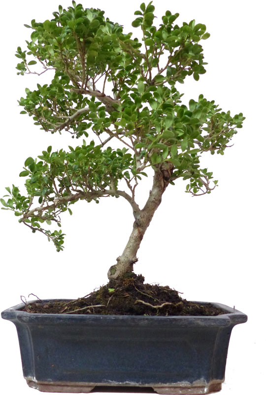 der gartenbonsai shop produkte bonsai laubb ume l015. Black Bedroom Furniture Sets. Home Design Ideas