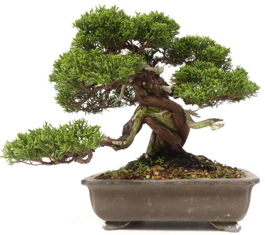 der gartenbonsai shop produkte bonsai nadelb ume chin wacholder. Black Bedroom Furniture Sets. Home Design Ideas