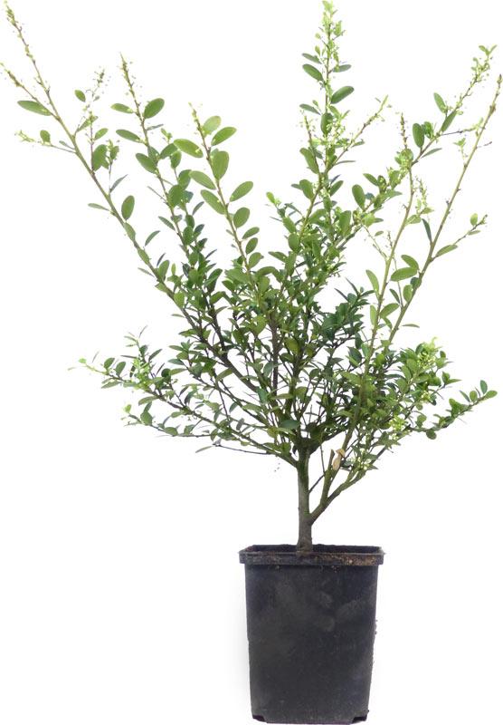 der gartenbonsai shop produkte bonsai rohware r004. Black Bedroom Furniture Sets. Home Design Ideas