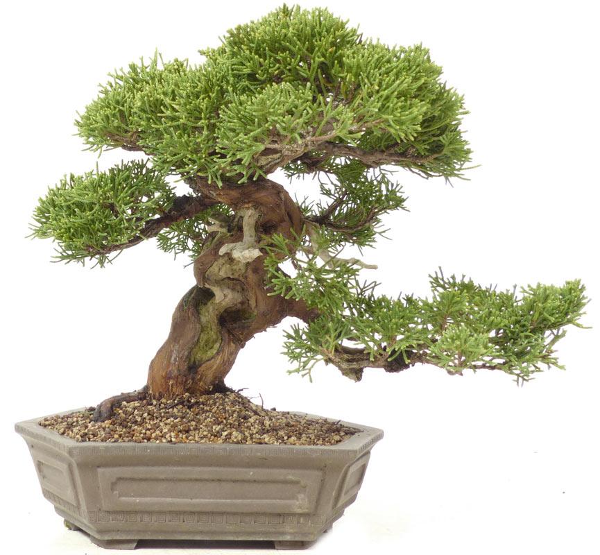 der gartenbonsai shop produkte bonsai shohin chin wacholder. Black Bedroom Furniture Sets. Home Design Ideas